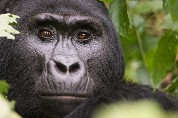 One of the 200 or so habituated mountain gorillas in Volcanoes National Park.